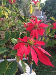 Blakespear Poinsettia